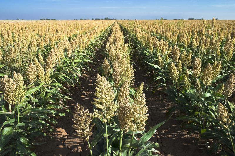 Corn and sorghum grow taller at night.