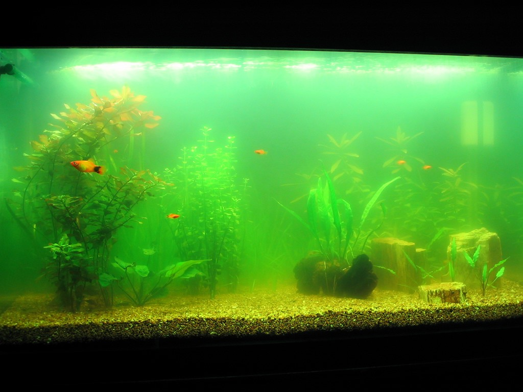 Algae is a big issue on the overall appeal of your fish tank.
