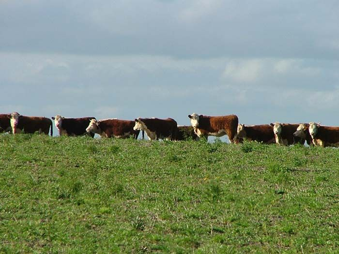 Scientists have observed that cattle align north-south while grazing