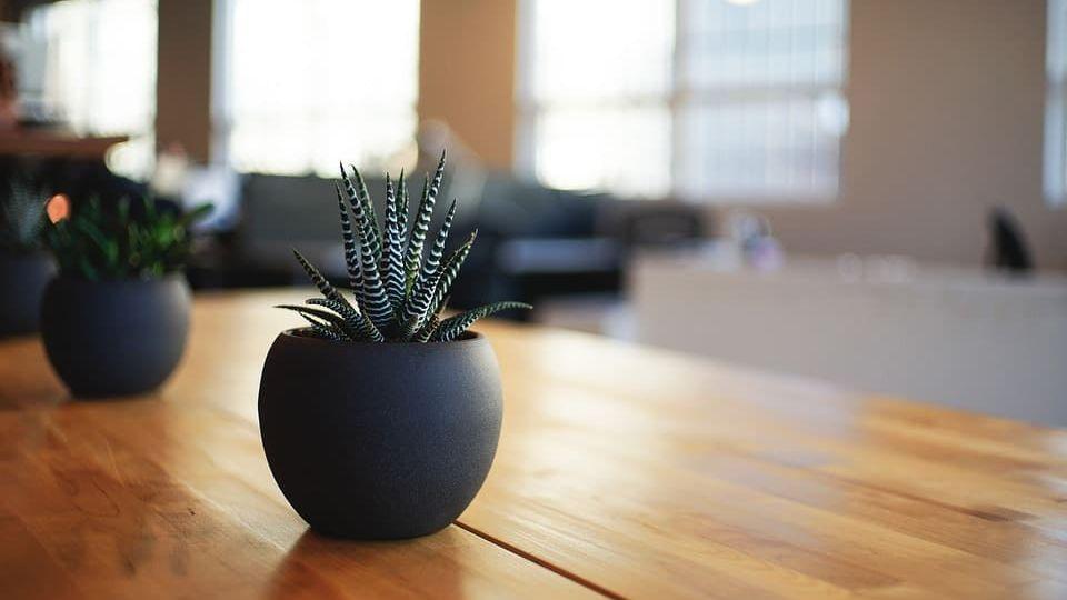 Feng Shui indoor plants cactus (Demo)