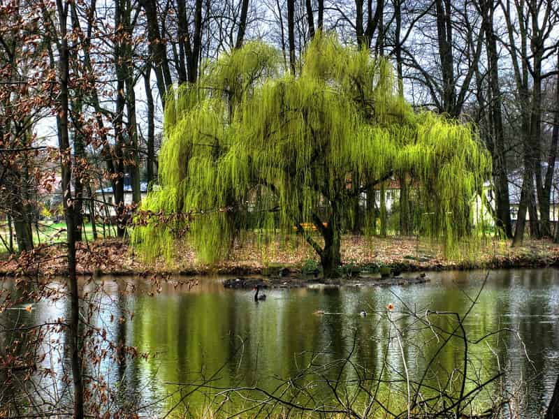 A weeping willow tree next to a body of water.